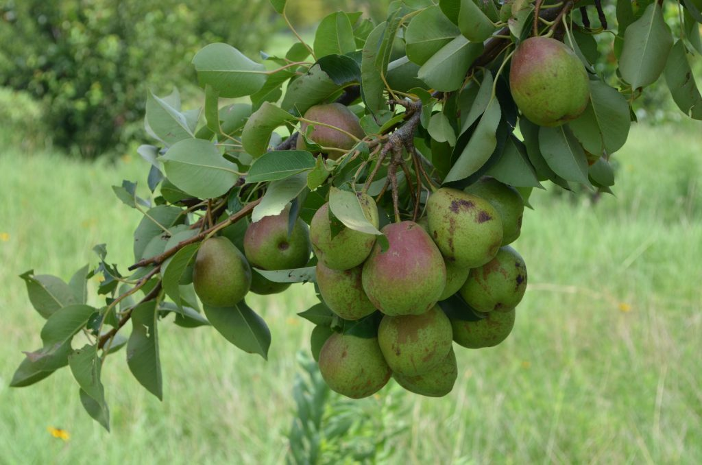 A close-up image of the pears growing in the orchard.