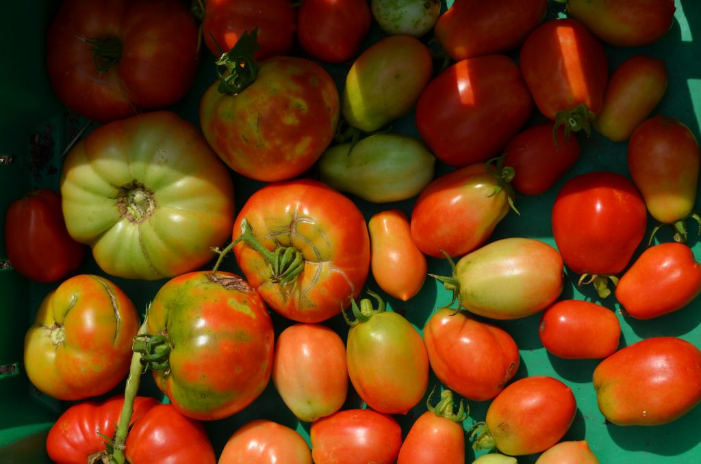 A basket of freshly picked tomatoes.