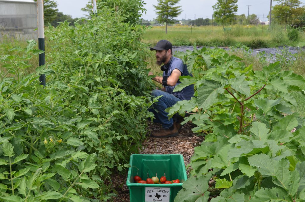 Senior Lab Assistant, Travis McPhaul, picking tomatoes in the garden.
