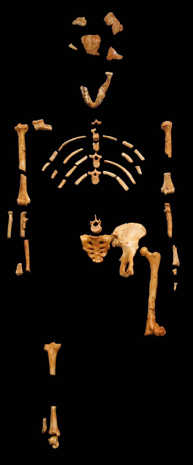 """Lucy"" -- Australopithecus afarensis Discovered in Ethiopia, 1974"